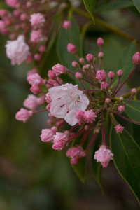 Kalmia latifolia inflorescence