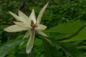 Magnolia tripetala inflorescence