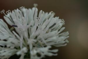 Marshallia trinerva floral detail
