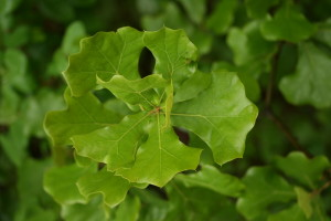 Quercus marilandica leaves