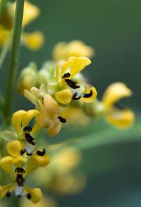 Senna hebecarpa floral detail-2