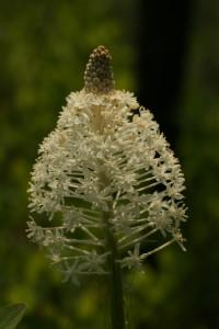 Xerophyllum asphodeloides II