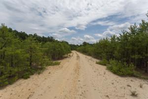 Young Pinus rigida at Parker Preserve